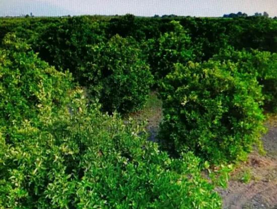 Köyceğiz Toparlar Da Satılık Narenciye Bahçesi, 29 000 M2