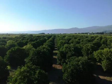 Ortaca Tepearasında Satılık Narenciye Bahçesi