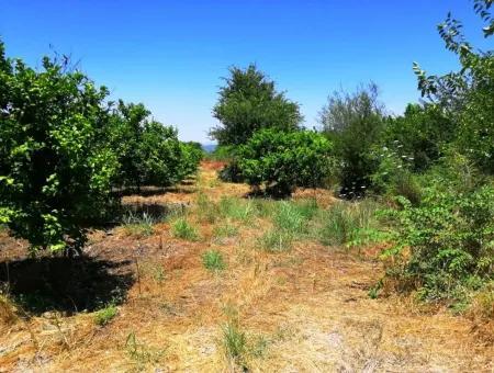 Ortacada Satılık Kelepir Limon Bahçesi