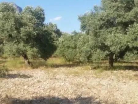 Köyceğiz Zeytinalanı Nda 13 987 M2 Zeytin Bahçesi Satılık